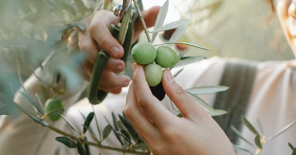 person picking an olive tree